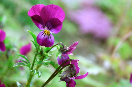 Common_Violet