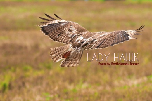 Lady-Hawk-Poem-by-Bartholomew-Barker