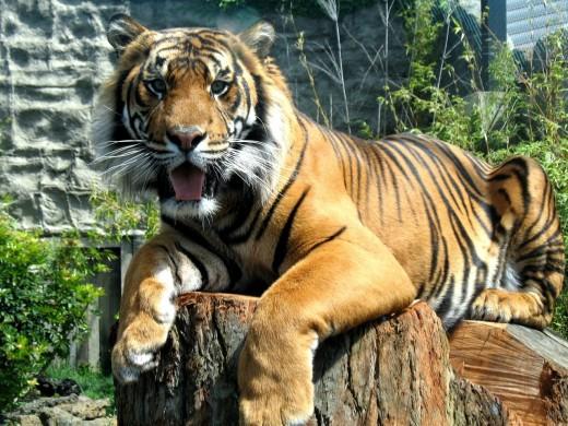 tiger-1360404-1280x960.jpg